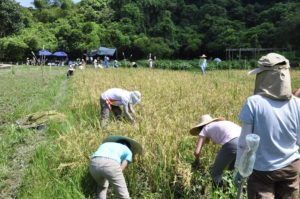 Volunteers sweating under the sun helping with the harvest. 義工們在烈日下大汗淋漓地幫忙收割。